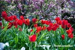 Тюльпаны в вишневом цвету