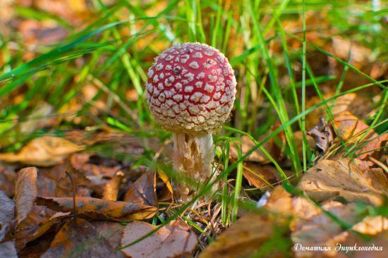 Энциклопедия природы. Грибы. Мухомор красный (Amanita muscaria (Fr.) Hook). Молодой гриб, кругленький и симпатичненький.