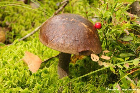 челыш гриб фото и описание